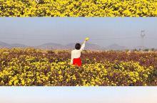 藏在泰山脚下万亩菊花海小众免费拍照地  采菊东篱下,悠然见南山 错过了春天的樱花夏天的油菜花,秋天的