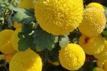 黄色的菊花好鲜艳