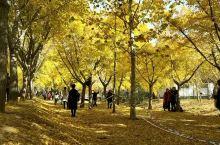 邳州市铁富时光隧道,每年最佳欣赏时间11月上旬