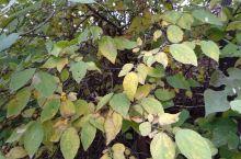 金秋十月,我在渑池邻家的黄土地上,看到的不仅仅是原野上成熟的包谷;而且还有一片片成熟的叶子!通过春华