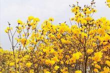 美丽的风铃花,春来了
