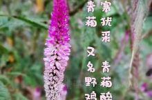 """这是青葙,又名野鸡冠花,一种常见,而今却默默无闻的普通野草。 但它其实是曾经大名鼎鼎的,杜牧的那首"""""""