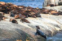 开普敦的海豹岛位于豪特湾,在这座岛上生活着数以万计的海豹和企鹅。他们懒洋洋的躺在礁石上,晒着太阳。大