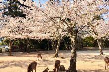 [宫岛]  樱花也在宫岛盛开。 季节在继续前进。 一只鹿看着盛开的樱花。 樱花可能有点寂寞。  樱花