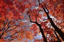 Gero(下吕)之深秋,是红透红透的。 名古屋去下吕,非常便捷,Hida Train班次多,称之为风