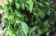 今年新茶,清明时节雨纷纷,这是茶叶肆意生长发嫩芽的时候,这个时候采摘茶叶,是最好不过的了。