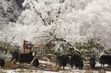 四川省甘孜州海螺沟的原始森林。现在这时间去极度凉快。看到高原上一群群牦牛自由散步,特觉兴奋。海漯沟里