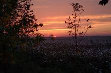 美丽的夕阳沉浸在盛开的棉田花海中