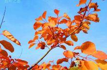 小城故事多,枫叶红于二月花!