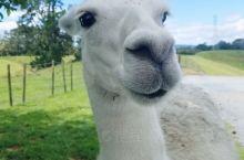 来到新西兰北岛一定要去爱歌顿农场去看看羊驼俗称(草泥马),当地特有的绵羊与骏马。