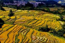 金黄色的稻谷飘香,又一年收割的季节到了……喜欢扫黄的朋友抓紧时间了,9月18号以前来比较好错过了等明