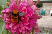 很大只的蜂,是蜜蜂吗,如果是的话简直变异了,是我以前见识过的蜜蜂的四倍大