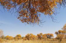 克拉玛依乌尔禾 发现北疆胡杨林黄得最早的是克拉玛依 刚刚九月十几号 胡杨树就都戴上了金色的 魔鬼城气
