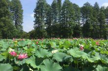 武汉东湖绿道,发现了一片荷塘,好美,武汉的7月份到这来玩,还是不错的选择