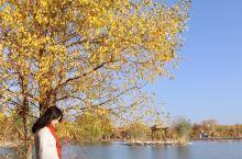 金塔胡杨林的清晨最美……有花海,有沙枣林,有野生胡杨林……最美就是金波湖,秋天晨光里的胡杨倒影特别美
