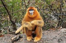 在大箭沟景区外某处和川金丝猴零距离接触,金丝猴非常漂亮!非常可爱!非常温驯!不像四川峨眉山和贵阳黔灵