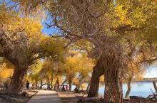 #额济纳旗金塔胡杨林# 金塔沙漠胡杨林位于甘肃省酒泉市金塔县城以西的潮湖林场,为三北防护林体系的一部