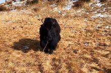 牦牛头大,角粗,皮松厚,髻甲高长宽,前肢短而端正,后肢呈刀状,体侧下部逆生粗长毛,尾短并着生蓬松长毛