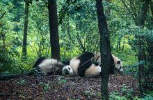 """成都""""吸猫""""全攻略-成都大熊猫繁育研究基地 成都的慵懒和闲适多半体现在憨态可掬的大熊猫身上,大熊猫的"""