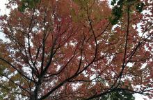昆明植物园之美丽秋色,枫香大道枫叶七彩斑斓。
