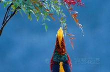 三门峡市第六届人大常委会第23次会议确定白天鹅、红腹锦鸡为三门峡市市鸟,绶带鸟遗憾落选。    红腹