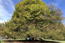 如果有来生,要做一棵树, 站成永恒。没有悲欢的姿势, 一半在尘土里安详, 一半在风里飞扬; 一半洒落