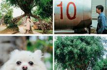云南芒市勐巴娜西珍奇园:和家人共度的一段快乐时光   图1是采采,和勐巴娜西珍奇园的奇树合影; 图1