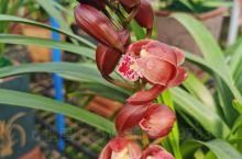 红宝石兰花