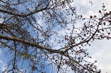 木棉树在广东很普遍,木棉花红色鲜艳,开花时特别美,木棉花掉地后,捡起来晒干,可以做枕头。木棉树干比较