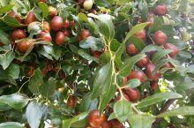 秋天是收获的季节,枣树上也结满了红枣,它不像梨树,桃树那样把自己的果实高高挂在枝头,而是像一个个羞涩