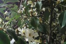 含笑花开满院飘香