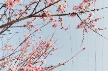 今天,来到了厂区外面的桃园,外面桃树开满了花儿,一点都不比景区差,一眼望不到边的桃花园,让我们一行人