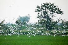海安:白鹭飞处是雅周 在江苏省海安市西南角,坐落着一个静谧祥和、雅致端丽的国家级生态镇——雅周镇。田