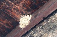 位于前童古镇的明经堂进去后,看到一个燕窝,五只嗷嗷待哺的小燕子排成一排,正拍照呢,突然小燕子一阵激动