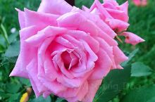 加拿大的玫瑰