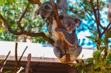黄金海岸的可伦宾野生动物保护区,这里是澳大利亚三大动物园之一,这里生活着许多非常珍贵的野生动物,其中