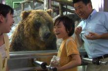 北海道登别棕熊牧场探棕熊,缆车往来打卡山顶美景  到登别市旅游,一定要来看代表北海道大自然的虾夷棕熊
