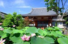 【京都·大莲寺】  七月是莲花的季节。在日本,七月的月花就是莲花,那赏莲的名所就一定不能错过大莲寺,