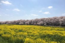 【日本赏樱特辑系列】第3篇•幸手篇 位于埼玉县幸手站附近的权现堂樱堤是日本全国排名前十的赏樱地 樱花