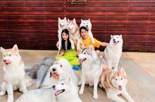 一个超棒的哈士奇游乐园主题咖啡馆,咖啡店的主题是西伯利亚哈士奇狗,不论是店铺 Logo 或卖的纪念品
