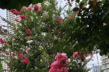 夏末居然有花季,东京江东有花道