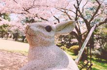 结缘兔子&樱花