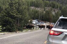 夏季的黄石到处都是动物:排排队过马路的群、母鹿、黑熊、公鹿。接下来是蓝宝石池、黄石瀑布、黄石湖西拇指