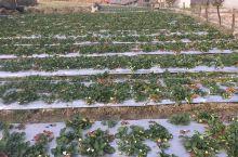德昌摘草莓