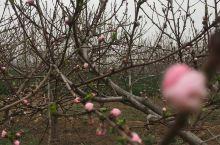 桃花快要盛开了