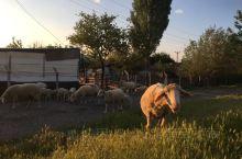 在土耳其的日子里 缓慢的节奏 悠闲的生活 那里的牧民与世无争 牧羊犬与人友好 就是听不懂土语,只会简