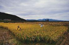 遇见一场金色的丰收。  上周末 去了抚仙湖南岸的抚仙谷。 正好遇上丰收。五谷不分的城里人,看到金黄色
