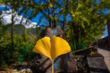 """云南腾冲 银杏村 万株连片的江东古银杏林,其中树龄在300年以上的古银杏500多株。 在""""树树秋声、"""
