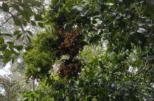 老家的冬枣树,长疯了。