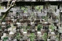 在玉林陆川县的谢鲁山庄,发现一颗106年的米兰树!